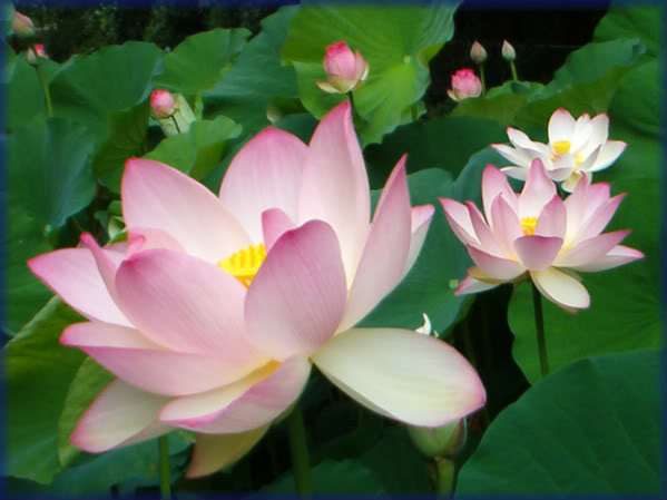 lotus-flower-21
